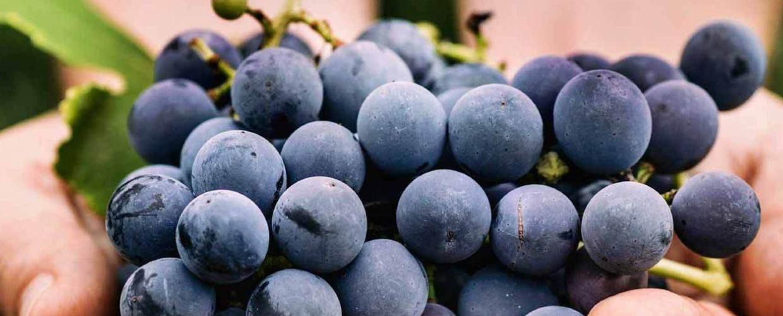 Kako su pojedine italijanske sorte grožđa dobile ime